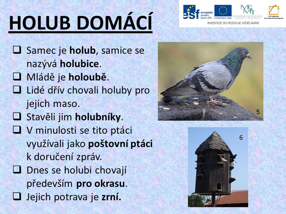 HOLUB DOMÁCÍ  Samec je holub, samice se nazývá holubice.