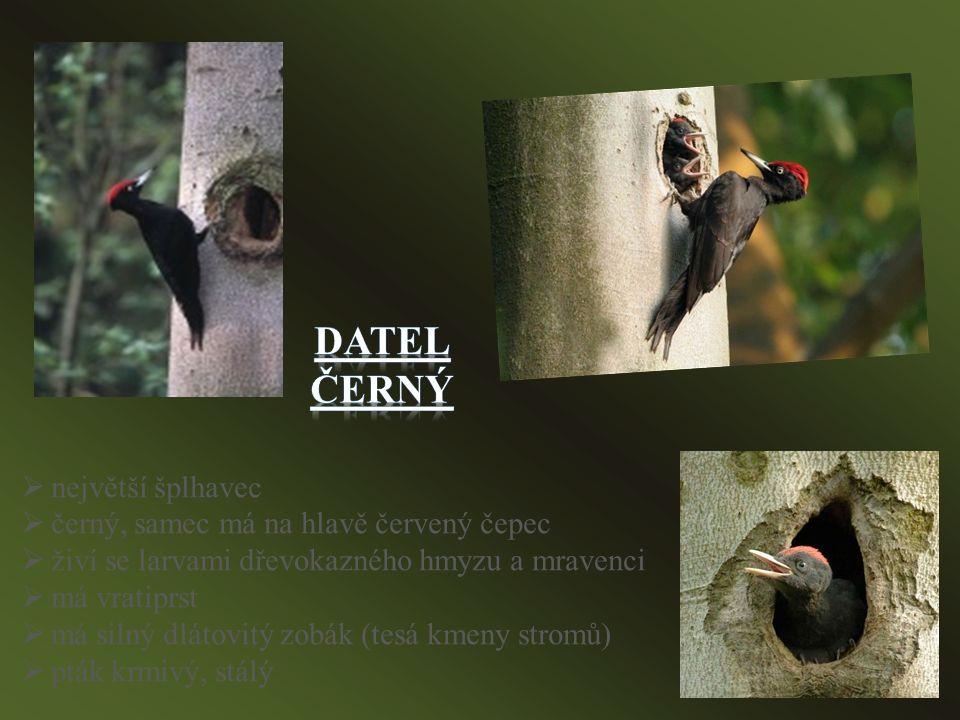 nnejvětší šplhavec ččerný, samec má na hlavě červený čepec žživí se larvami dřevokazného hmyzu a mravenci mmá vratiprst mmá silný dlátovitý zobák (tesá kmeny stromů) ppták krmivý, stálý