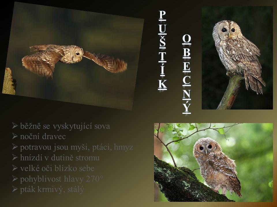bběžně se vyskytující sova nnoční dravec ppotravou jsou myši, ptáci, hmyz hhnízdí v dutině stromu vvelké oči blízko sebe ppohyblivost hlavy 270° ppták krmivý, stálý