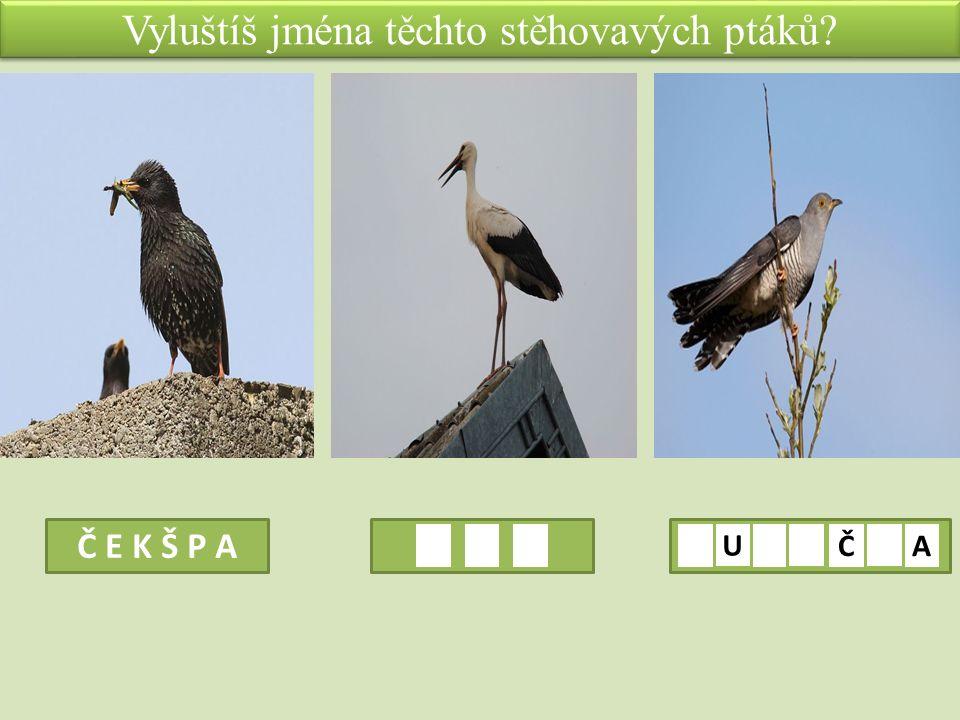 Vyluštíš jména těchto stěhovavých ptáků Č E K Š P A U ČA