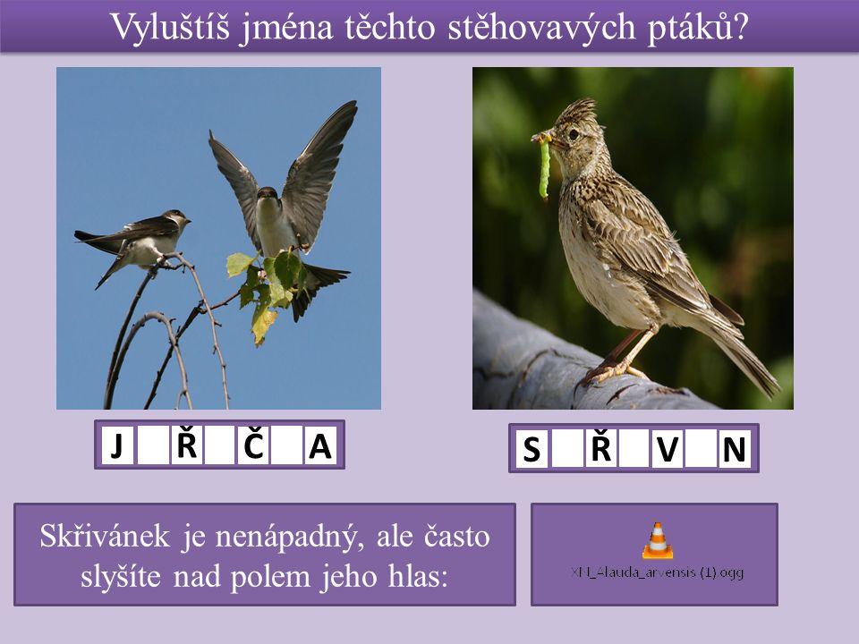 Vyluštíš jména těchto stěhovavých ptáků? J Ř Č A S Ř V N Skřivánek je nenápadný, ale často slyšíte nad polem jeho hlas: