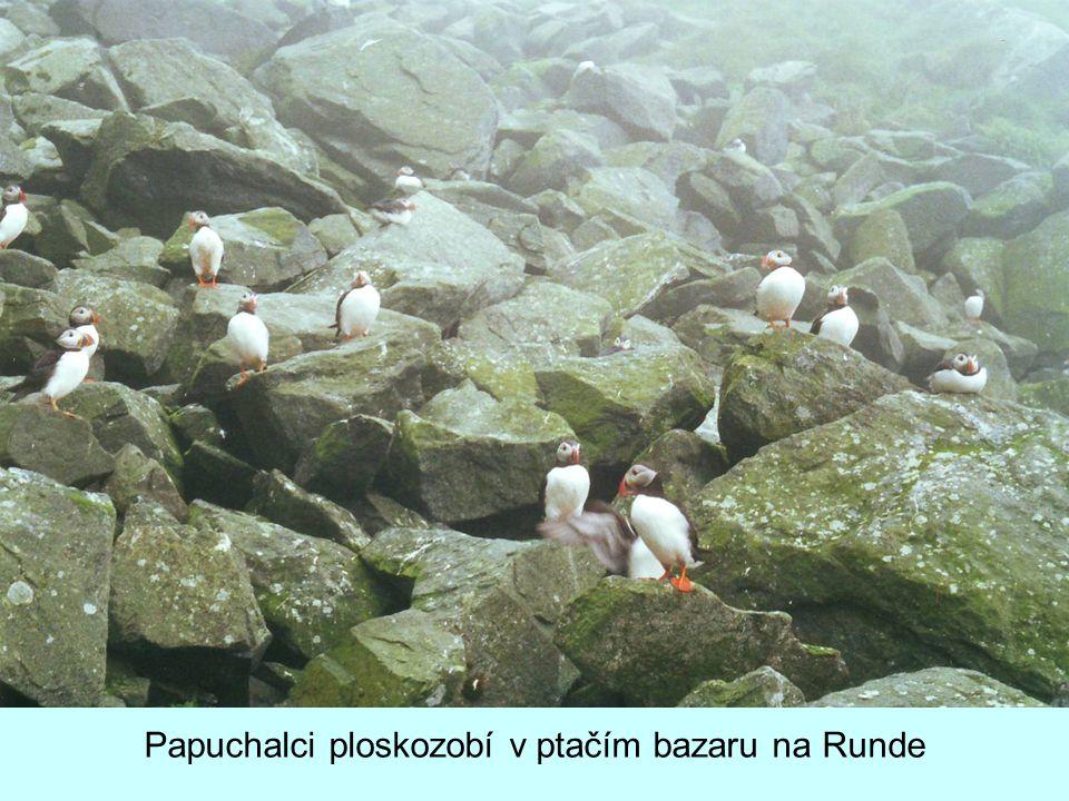 Papuchalci ploskozobí v ptačím bazaru na Runde