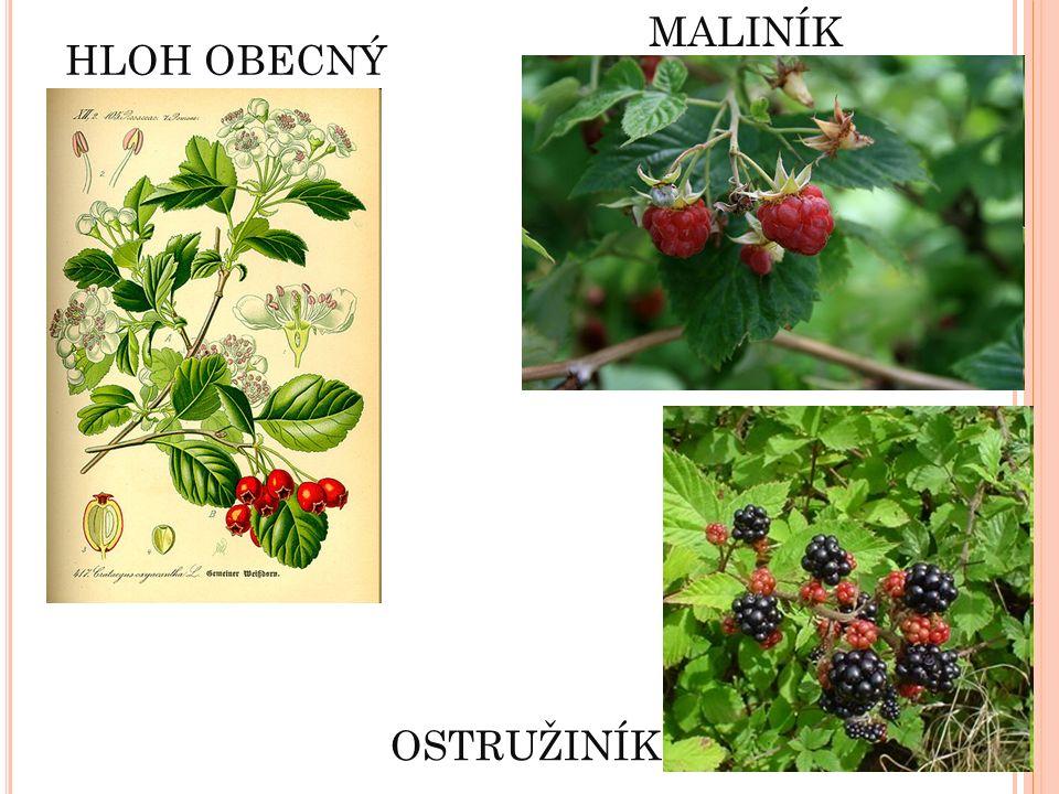 OSTRUŽINÍK MALINÍK HLOH OBECNÝ Květy – výroba léčiv Plody – léčivé čaje, potrava ptáků