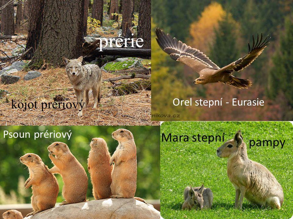 kojot prériový prérie Psoun prériový Mara stepní pampy Orel stepní - Eurasie