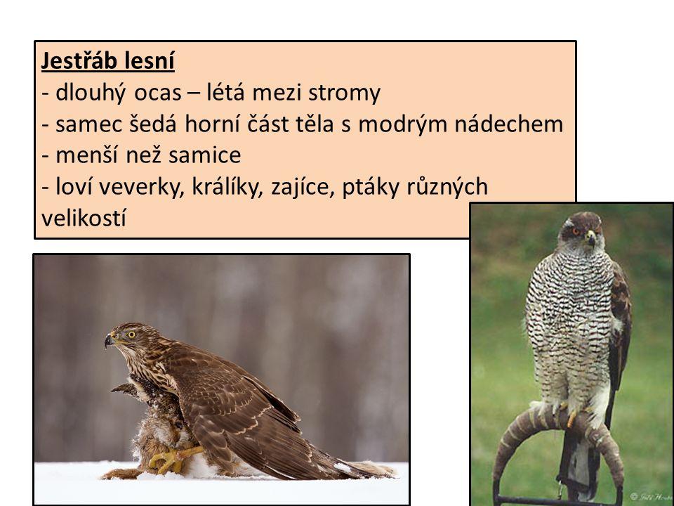 Jestřáb lesní - dlouhý ocas – létá mezi stromy - samec šedá horní část těla s modrým nádechem - menší než samice - loví veverky, králíky, zajíce, ptáky různých velikostí