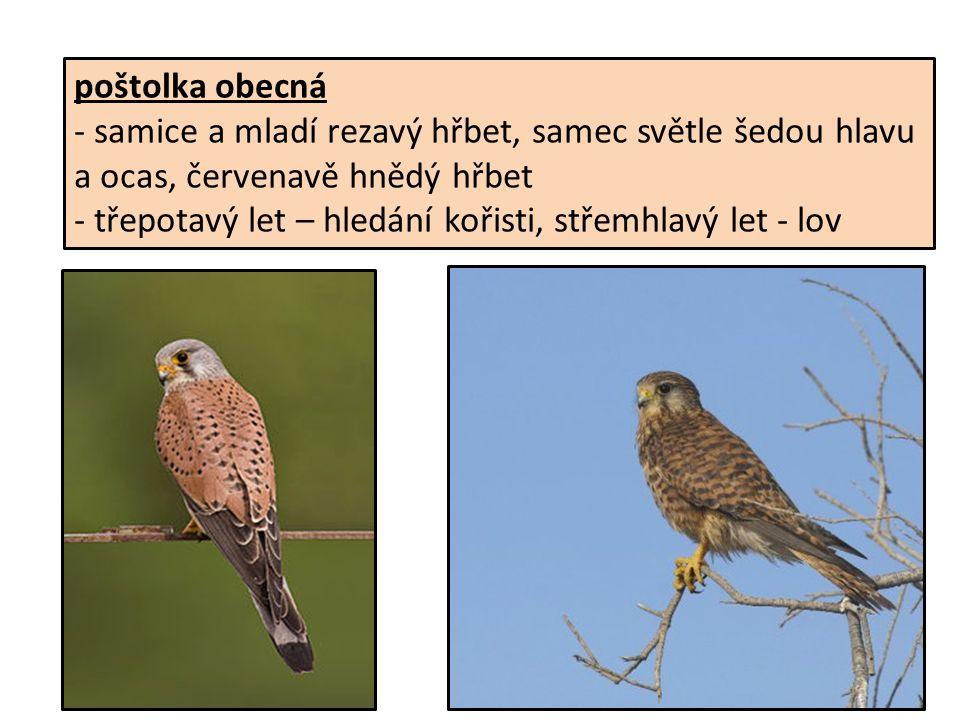 poštolka obecná - samice a mladí rezavý hřbet, samec světle šedou hlavu a ocas, červenavě hnědý hřbet - třepotavý let – hledání kořisti, střemhlavý let - lov