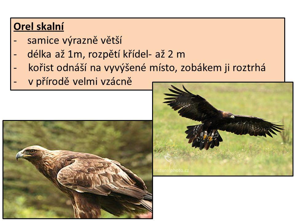 Orel skalní - samice výrazně větší - délka až 1m, rozpětí křídel- až 2 m -kořist odnáší na vyvýšené místo, zobákem ji roztrhá -v přírodě velmi vzácně