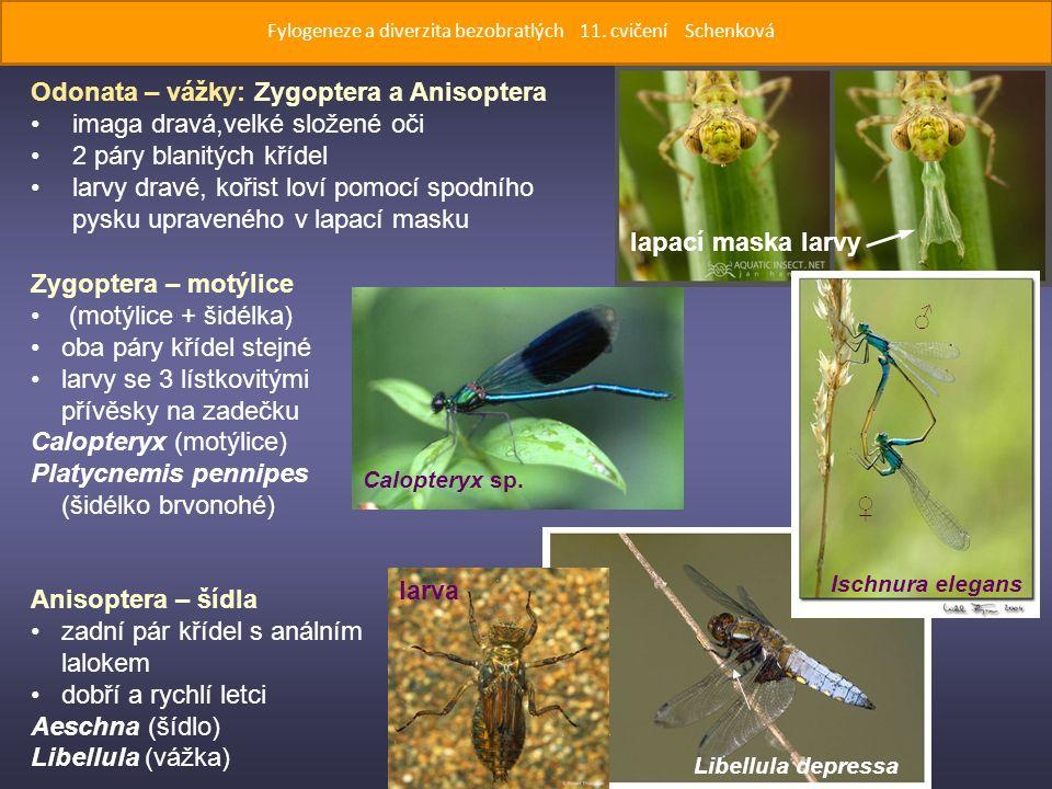 Zygoptera – motýlice (motýlice + šidélka) oba páry křídel stejné larvy se 3 lístkovitými přívěsky na zadečku Calopteryx (motýlice) Platycnemis pennipes (šidélko brvonohé) Anisoptera – šídla zadní pár křídel s análním lalokem dobří a rychlí letci Aeschna (šídlo) Libellula (vážka) Calopteryx sp.