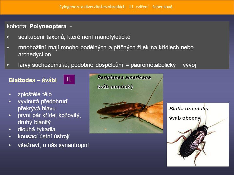 Periplanea americana šváb americký Blatta orientalis šváb obecný Blattodea – švábi zploštělé tělo vyvinutá předohruď překrývá hlavu první pár křídel kožovitý, druhý blanitý dlouhá tykadla kousací ústní ústrojí všežraví, u nás synantropní kohorta: Polyneoptera - seskupení taxonů, které není monofyletické mnohožilní mají mnoho podélných a příčných žilek na křídlech nebo archedyction larvy suchozemské, podobné dospělcům = paurometabolický vývoj II.