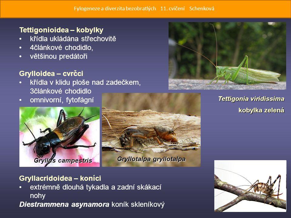 Tettigonioidea – kobylky křídla ukládána střechovitě 4článkové chodidlo, většinou predátoři Grylloidea – cvrčci křídla v klidu ploše nad zadečkem, 3článkové chodidlo omnivorní, fytofágní Gryllacridoidea – koníci extrémně dlouhá tykadla a zadní skákací nohy Diestrammena asynamora koník skleníkový Tettigonia viridissima kobylka zelená Gryllus campestris Fylogeneze a diverzita bezobratlých 11.