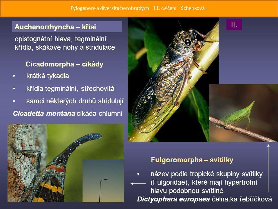 Fulgoromorpha – svítilky opistognátní hlava, tegminální křídla, skákavé nohy a stridulace Cicadomorpha – cikády krátká tykadla křídla tegminální, střechovitá samci některých druhů stridulují Cicadetta montana cikáda chlumní název podle tropické skupiny svítilky (Fulgoridae), které mají hypertrofní hlavu podobnou svítilně Dictyophara europaea čelnatka řebříčková II.