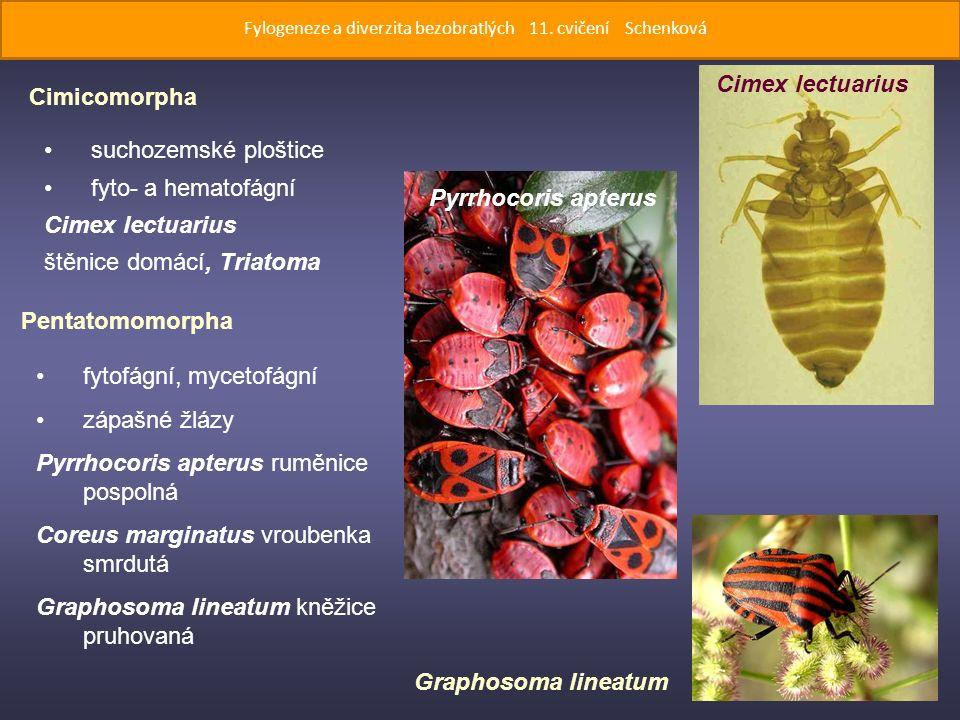 suchozemské ploštice fyto- a hematofágní Cimex lectuarius štěnice domácí, Triatoma Cimicomorpha Pentatomomorpha fytofágní, mycetofágní zápašné žlázy Pyrrhocoris apterus ruměnice pospolná Coreus marginatus vroubenka smrdutá Graphosoma lineatum kněžice pruhovaná Cimex lectuarius Pyrrhocoris apterus Graphosoma lineatum Fylogeneze a diverzita bezobratlých 11.