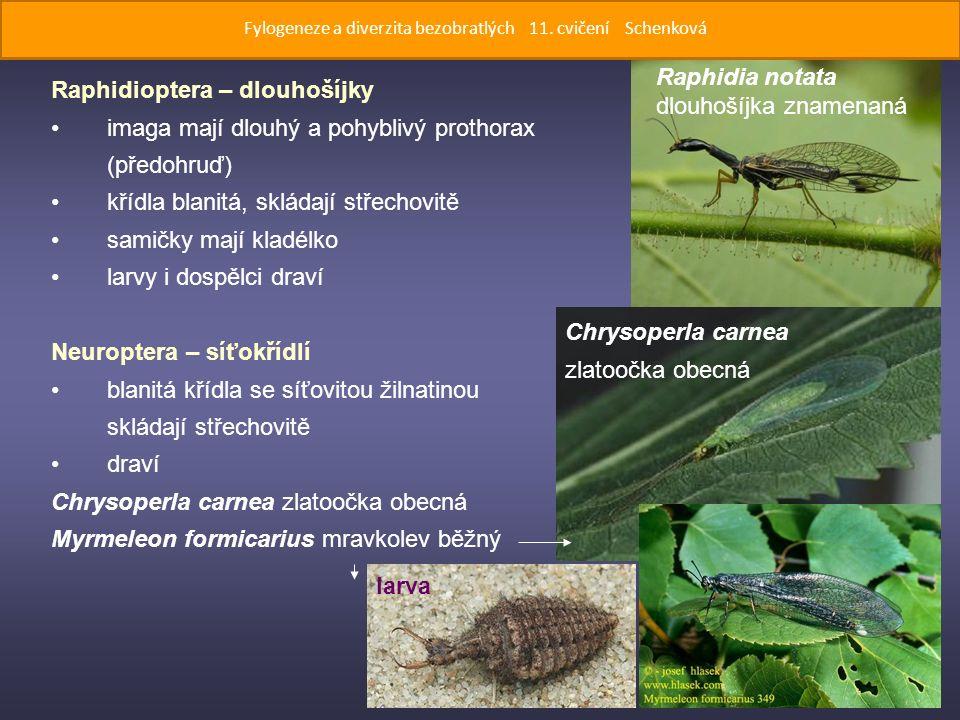 Raphidioptera – dlouhošíjky imaga mají dlouhý a pohyblivý prothorax (předohruď) křídla blanitá, skládají střechovitě samičky mají kladélko larvy i dospělci draví Neuroptera – síťokřídlí blanitá křídla se síťovitou žilnatinou skládají střechovitě draví Chrysoperla carnea zlatoočka obecná Myrmeleon formicarius mravkolev běžný Raphidia notata dlouhošíjka znamenaná Chrysoperla carnea zlatoočka obecná larva Fylogeneze a diverzita bezobratlých 11.