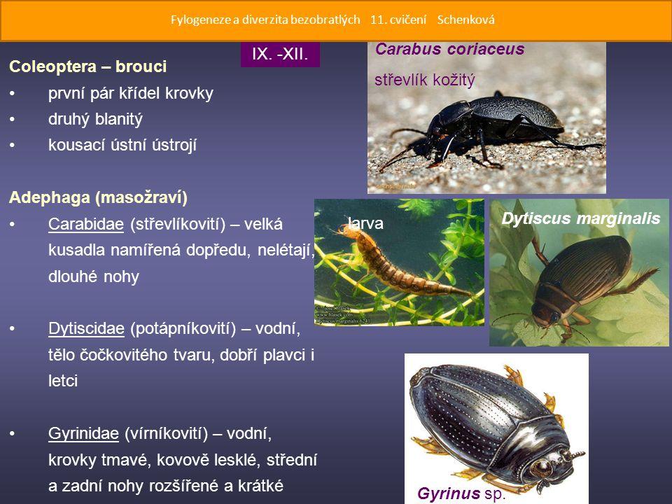Coleoptera – brouci první pár křídel krovky druhý blanitý kousací ústní ústrojí Adephaga (masožraví) Carabidae (střevlíkovití) – velká kusadla namířená dopředu, nelétají, dlouhé nohy Dytiscidae (potápníkovití) – vodní, tělo čočkovitého tvaru, dobří plavci i letci Gyrinidae (vírníkovití) – vodní, krovky tmavé, kovově lesklé, střední a zadní nohy rozšířené a krátké Carabus coriaceus střevlík kožitý Dytiscus marginalis larva Gyrinus sp.