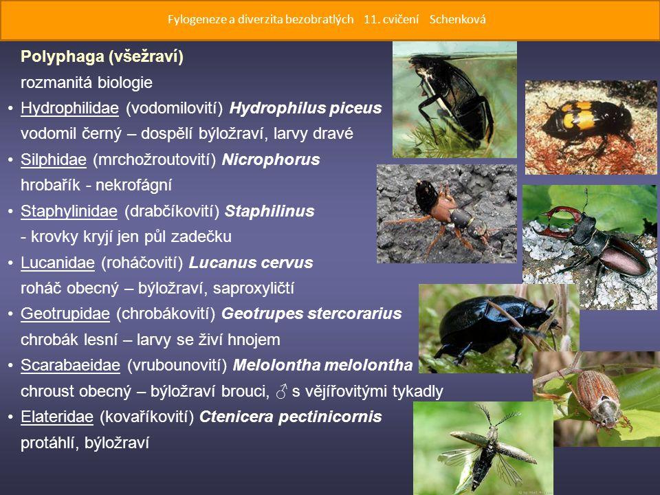 Polyphaga (všežraví) rozmanitá biologie Hydrophilidae (vodomilovití) Hydrophilus piceus vodomil černý – dospělí býložraví, larvy dravé Silphidae (mrchožroutovití) Nicrophorus hrobařík - nekrofágní Staphylinidae (drabčíkovití) Staphilinus - krovky kryjí jen půl zadečku Lucanidae (roháčovití) Lucanus cervus roháč obecný – býložraví, saproxyličtí Geotrupidae (chrobákovití) Geotrupes stercorarius chrobák lesní – larvy se živí hnojem Scarabaeidae (vrubounovití) Melolontha melolontha chroust obecný – býložraví brouci, ♂ s vějířovitými tykadly Elateridae (kovaříkovití) Ctenicera pectinicornis protáhlí, býložraví Fylogeneze a diverzita bezobratlých 11.
