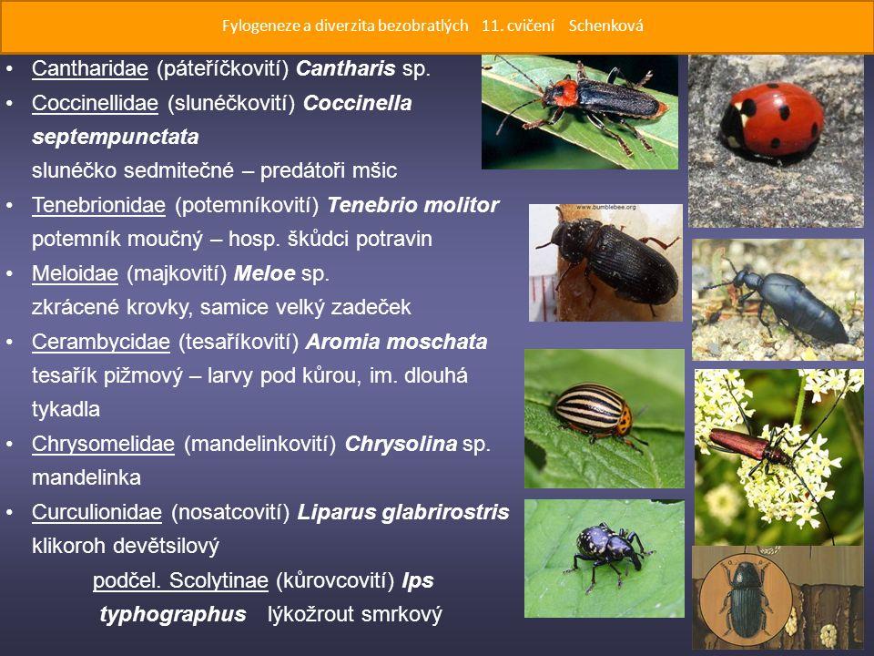 Cantharidae (páteříčkovití) Cantharis sp.