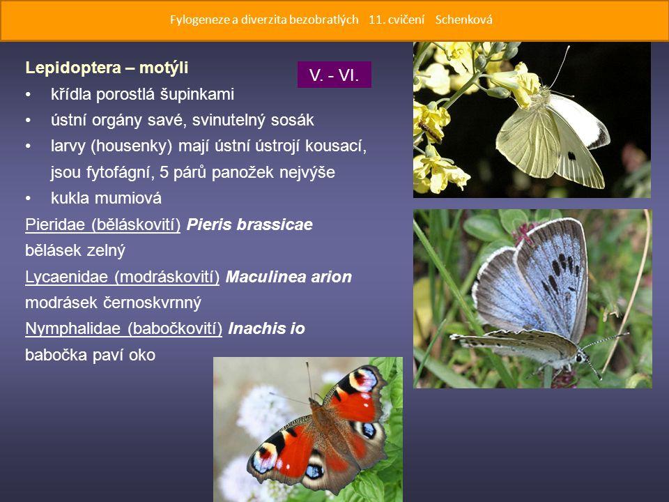 Lepidoptera – motýli křídla porostlá šupinkami ústní orgány savé, svinutelný sosák larvy (housenky) mají ústní ústrojí kousací, jsou fytofágní, 5 párů panožek nejvýše kukla mumiová Pieridae (běláskovití) Pieris brassicae bělásek zelný Lycaenidae (modráskovití) Maculinea arion modrásek černoskvrnný Nymphalidae (babočkovití) Inachis io babočka paví oko V.
