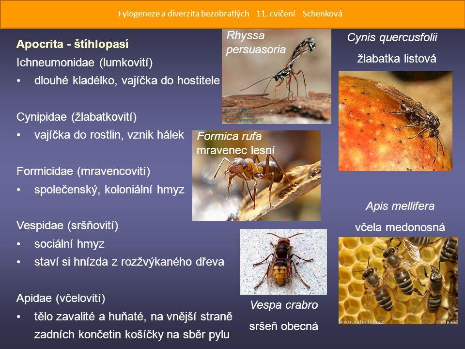 Apocrita - štíhlopasí Ichneumonidae (lumkovití) dlouhé kladélko, vajíčka do hostitele Cynipidae (žlabatkovití) vajíčka do rostlin, vznik hálek Formicidae (mravencovití) společenský, koloniální hmyz Vespidae (sršňovití) sociální hmyz staví si hnízda z rozžvýkaného dřeva Apidae (včelovití) tělo zavalité a huňaté, na vnější straně zadních končetin košíčky na sběr pylu Cynis quercusfolii žlabatka listová Rhyssa persuasoria Formica rufa mravenec lesní Apis mellifera včela medonosná Vespa crabro sršeň obecná Fylogeneze a diverzita bezobratlých 11.