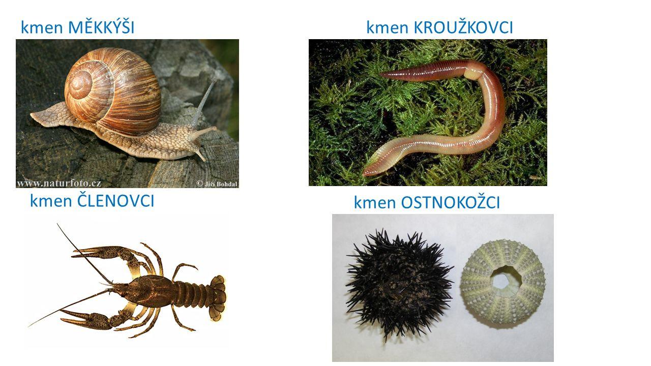 KMEN HOUBOVCI (mořské houby) vodní (mořské i sladkovodní) živí se ……………………………….