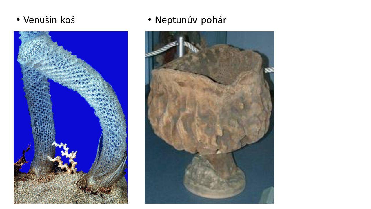 houba trsovitá houba trubková