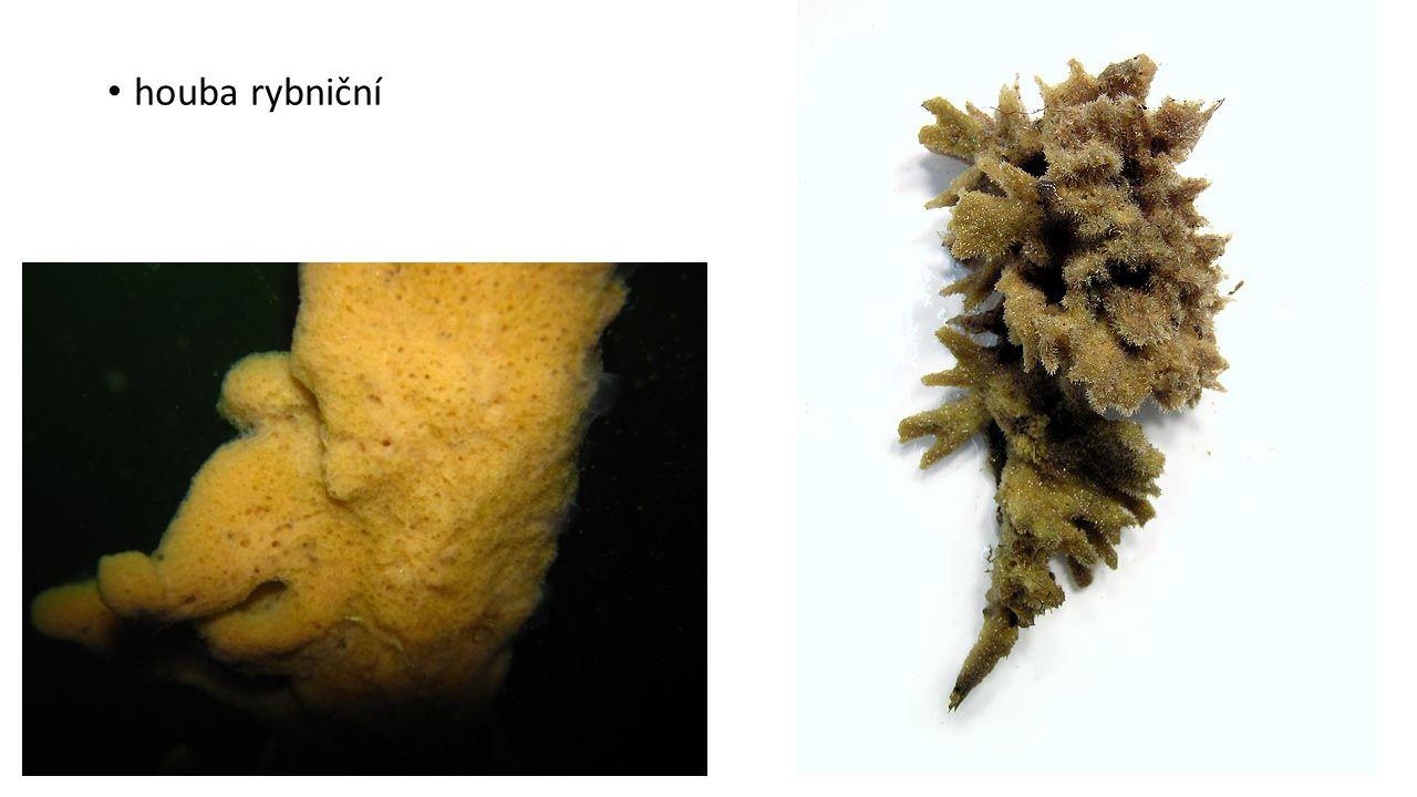 KMEN ŽAHAVCI polypovci - nezmar medúzovci - medúzy korálnatci – koráli a sasanky