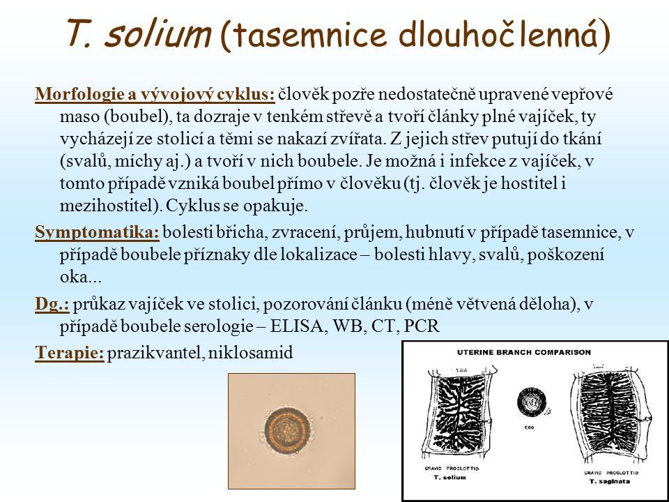 T. solium (tasemnice dlouhočlenná ) Morfologie a vývojový cyklus: člověk pozře nedostatečně upravené vepřové maso (boubel), ta dozraje v tenkém střevě