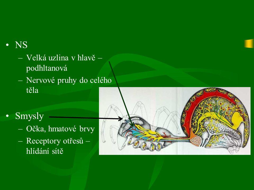 NS –Velká uzlina v hlavě – podhltanová –Nervové pruhy do celého těla Smysly –Očka, hmatové brvy –Receptory otřesů – hlídání sítě