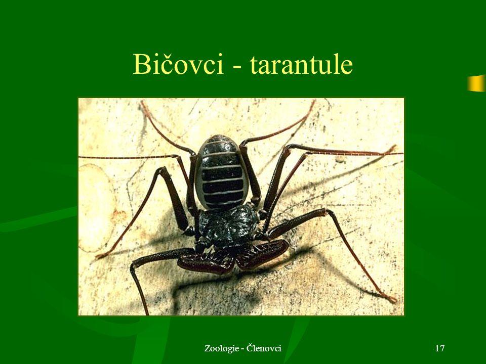Zoologie - Členovci17 Bičovci - tarantule
