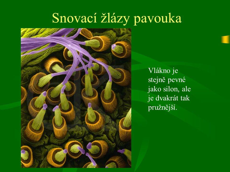 Chelicerata Třída: Arachnida (Pavoukovci) anatomie ovarium srdce anus plicní vak žaludek střevo kloaka receptaculum seminis pohlavní otvor snovací žlázy oko mozek