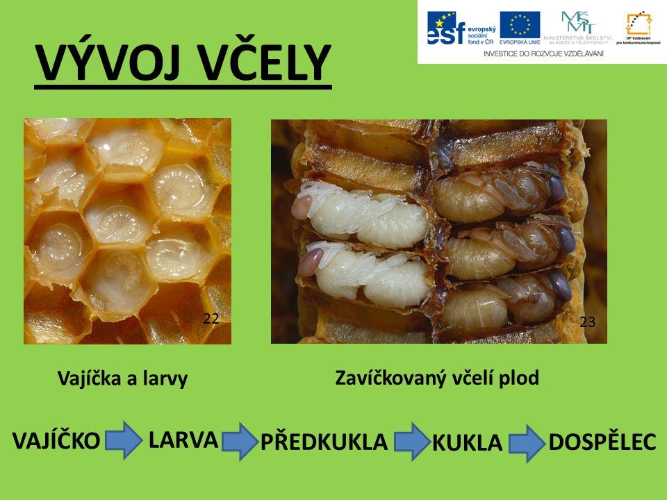22 23 Vajíčka a larvy Zavíčkovaný včelí plod VÝVOJ VČELY VAJÍČKO LARVA PŘEDKUKLA KUKLA DOSPĚLEC