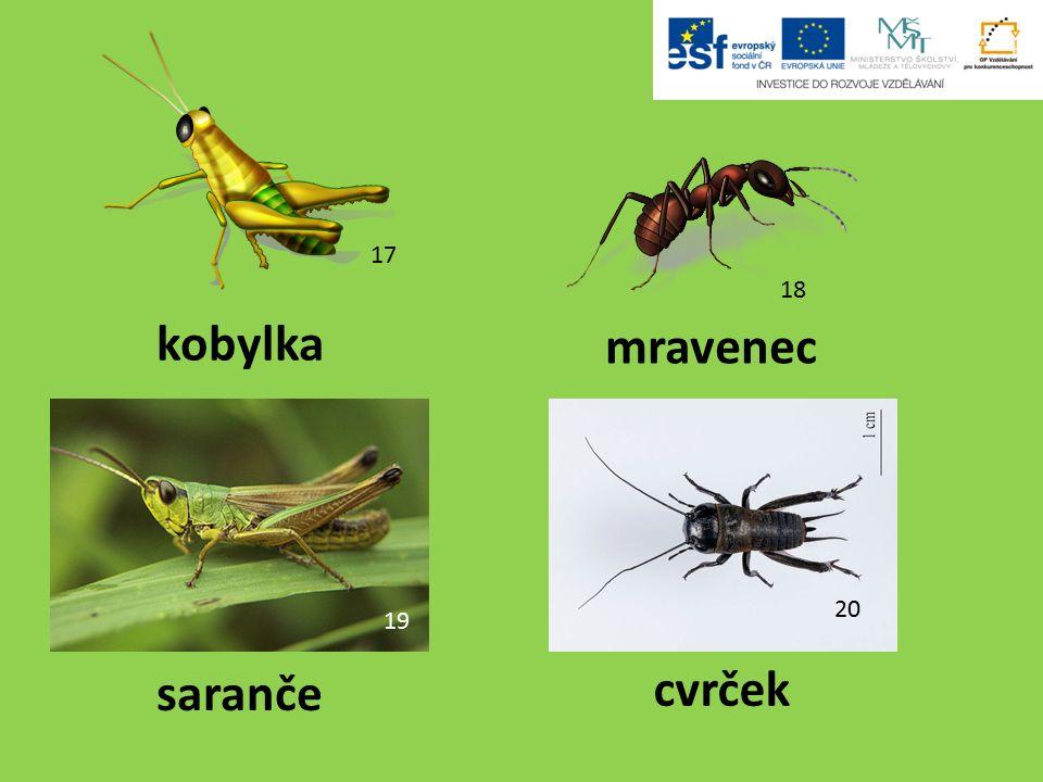 18 mravenec kobylka saranče cvrček 17 19 20