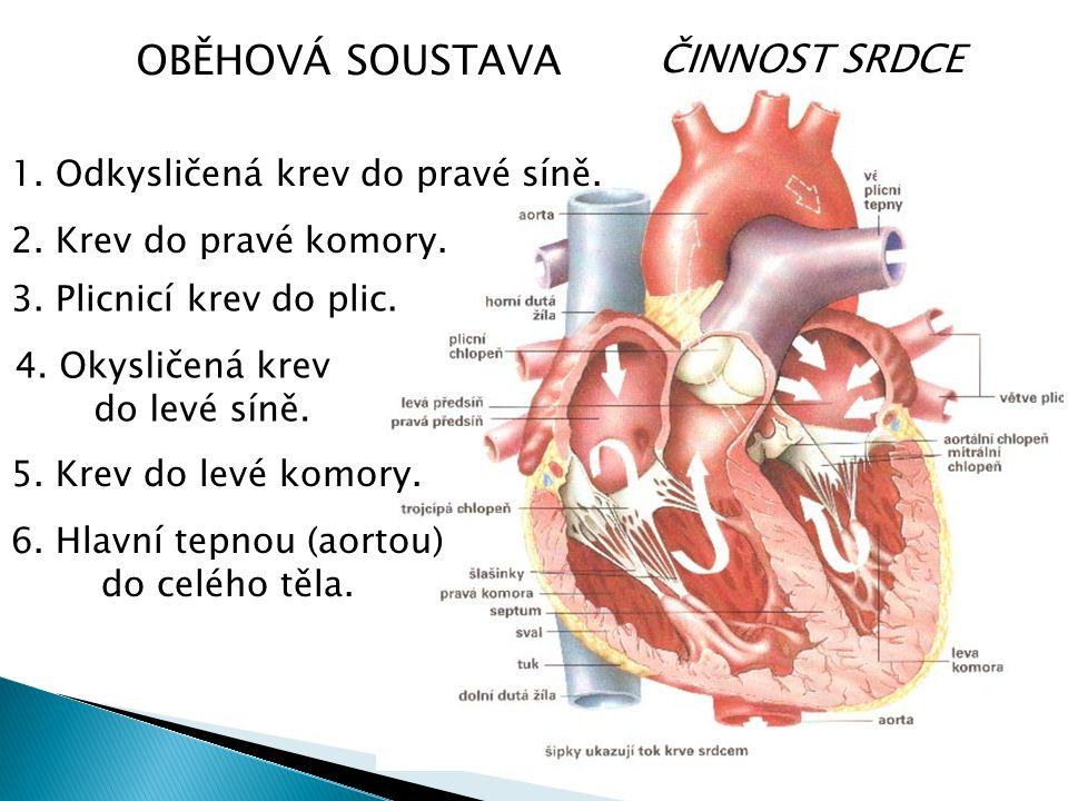 ČINNOST SRDCE OBĚHOVÁ SOUSTAVA 1. Odkysličená krev do pravé síně.