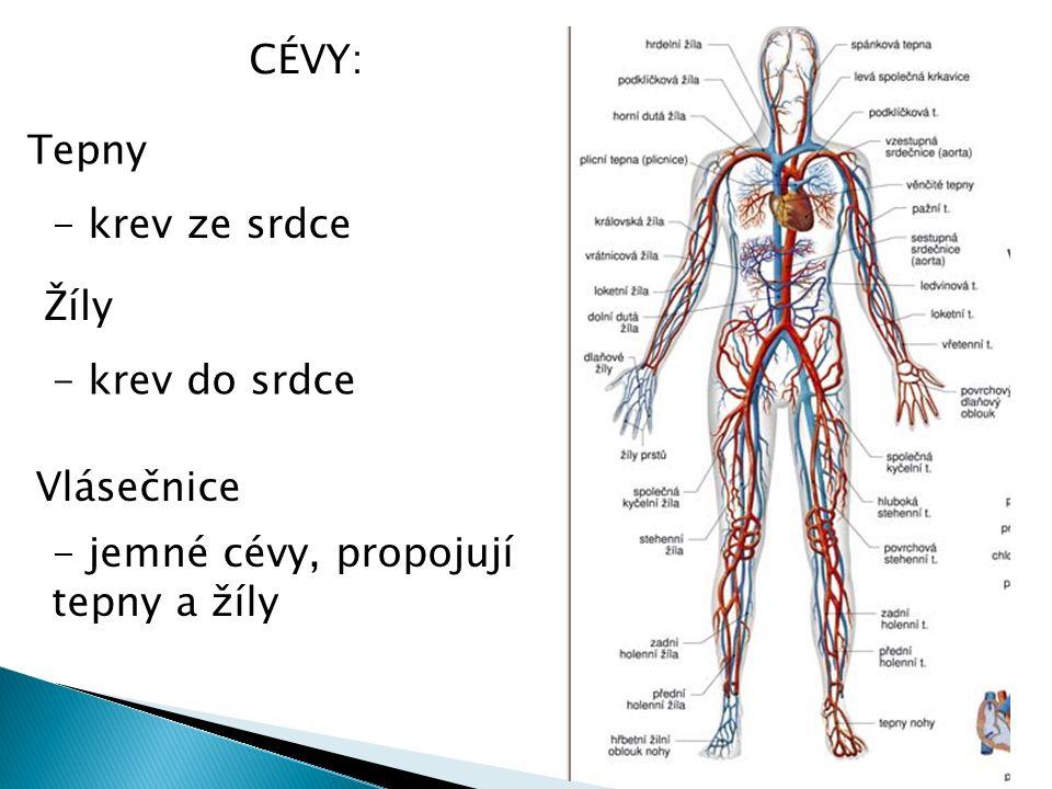 CÉVY: Tepny Žíly Vlásečnice - krev ze srdce - jemné cévy, propojují tepny a žíly - krev do srdce