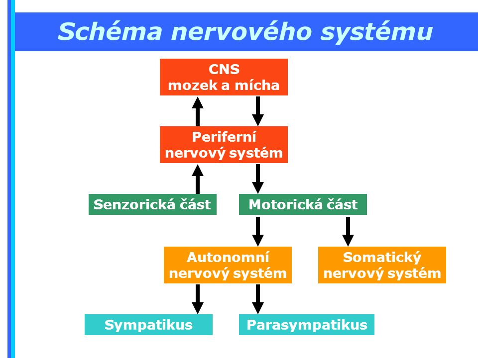 Schéma nervového systému CNS mozek a mícha Periferní nervový systém Senzorická část Motorická část Autonomní nervový systém Somatický nervový systém SympatikusParasympatikus