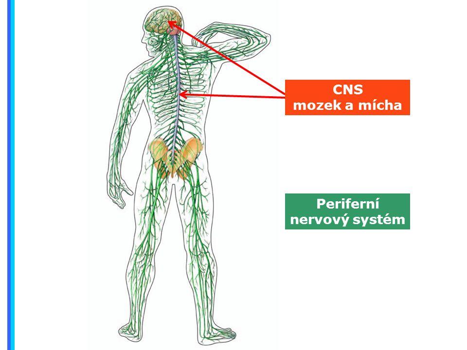 Periferní nervový systém CNS mozek a mícha
