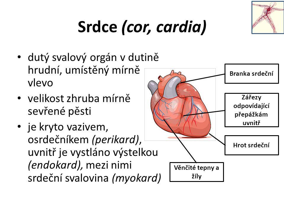 Srdce (cor, cardia) dutý svalový orgán v dutině hrudní, umístěný mírně vlevo velikost zhruba mírně sevřené pěsti je kryto vazivem, osrdečníkem (perikard), uvnitř je vystláno výstelkou (endokard), mezi nimi srdeční svalovina (myokard) Branka srdeční Hrot srdeční Zářezy odpovídající přepážkám uvnitř Věnčité tepny a žíly