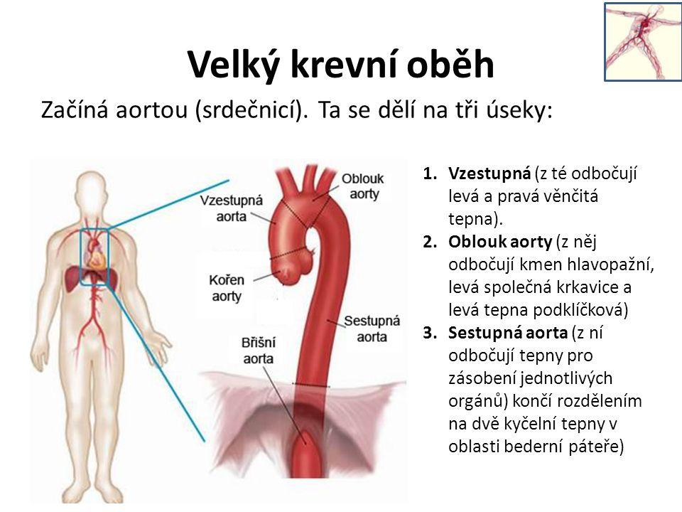 Velký krevní oběh Začíná aortou (srdečnicí).