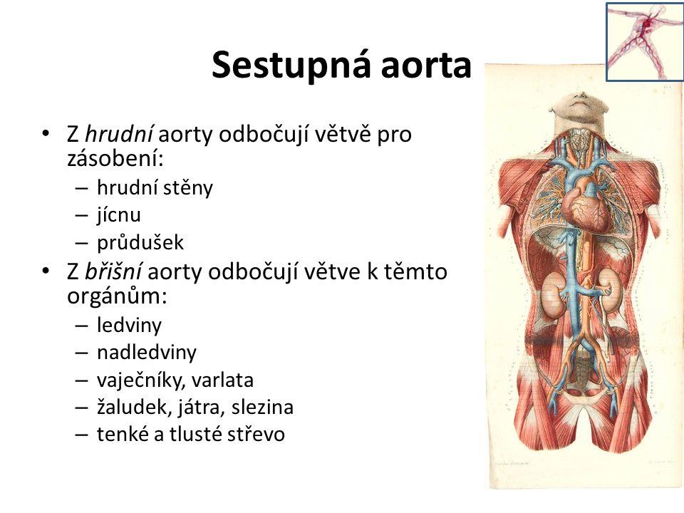 Sestupná aorta Z hrudní aorty odbočují větvě pro zásobení: – hrudní stěny – jícnu – průdušek Z břišní aorty odbočují větve k těmto orgánům: – ledviny – nadledviny – vaječníky, varlata – žaludek, játra, slezina – tenké a tlusté střevo