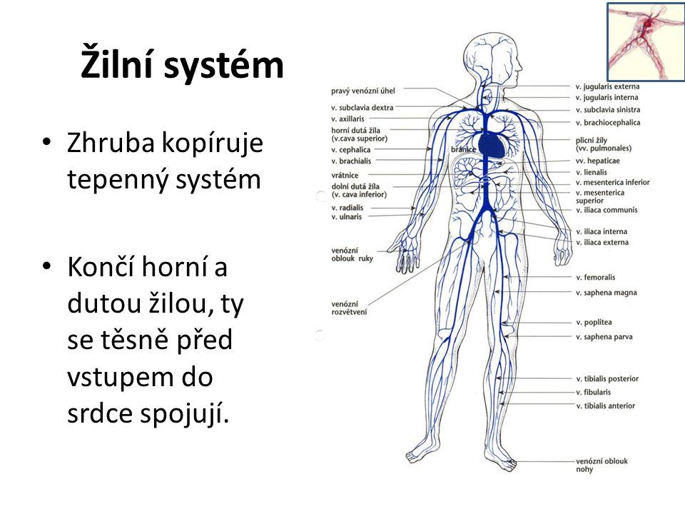 Žilní systém Zhruba kopíruje tepenný systém Končí horní a dutou žilou, ty se těsně před vstupem do srdce spojují.