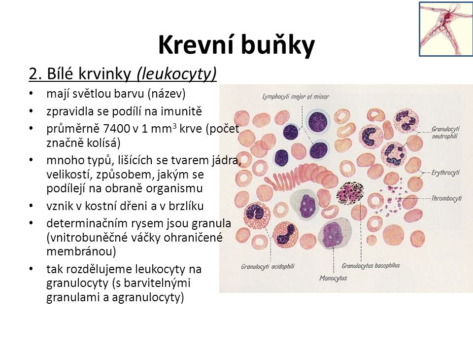 Rozdělení leukocytů Granulocyty: obsahují barvitelná granula, mají členěné jádro 1.