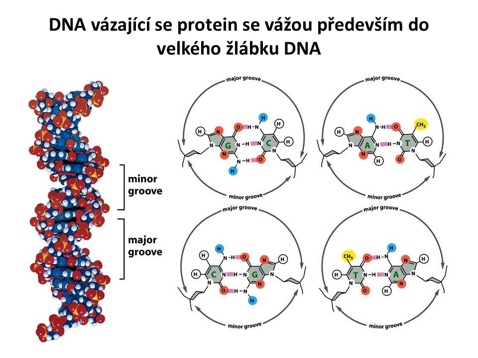DNA vázající se protein se vážou především do velkého žlábku DNA
