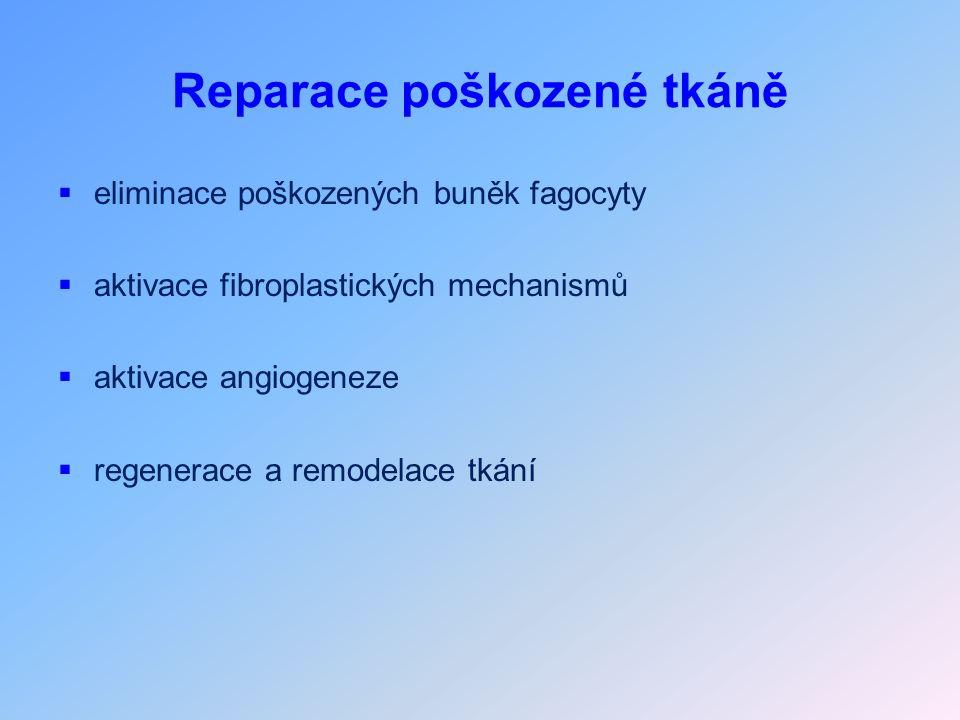 Reparace poškozené tkáně  eliminace poškozených buněk fagocyty  aktivace fibroplastických mechanismů  aktivace angiogeneze  regenerace a remodelace tkání