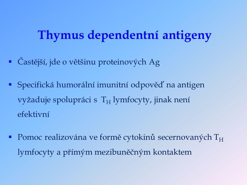 Thymus dependentní antigeny  Častější, jde o většinu proteinových Ag  Specifická humorální imunitní odpověď na antigen vyžaduje spolupráci s T H lymfocyty, jinak není efektivní  Pomoc realizována ve formě cytokinů secernovaných T H lymfocyty a přímým mezibuněčným kontaktem
