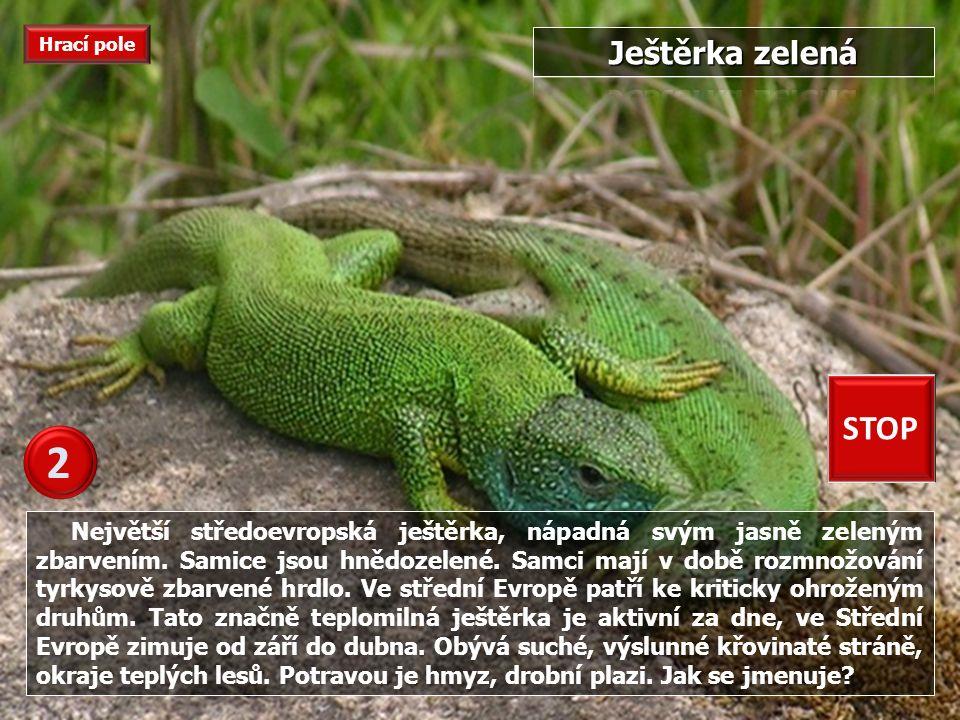 Největší středoevropská ještěrka, nápadná svým jasně zeleným zbarvením.