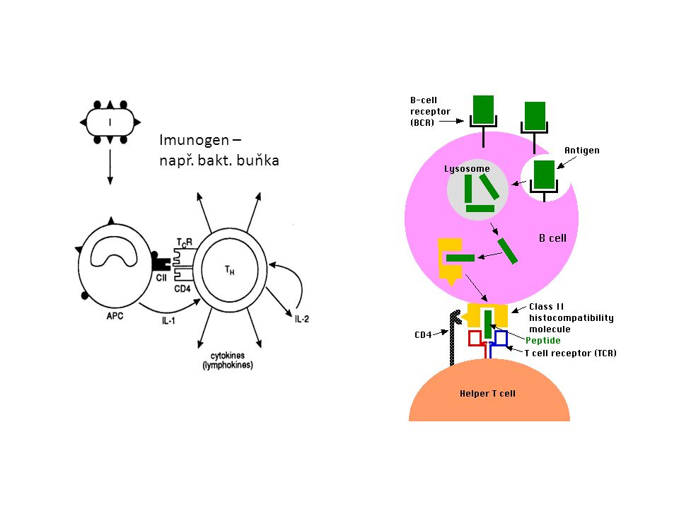Imunogen – např. bakt. buňka