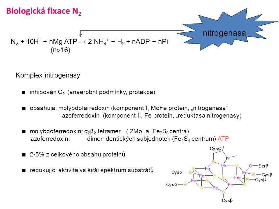 Biologická fixace N 2 N 2 + 10H + + nMg ATP → 2 NH 4 + + H 2 + nADP + nPi (n ˃ 16) Komplex nitrogenasy ■ inhibován O 2 (anaerobní podmínky, protekce)