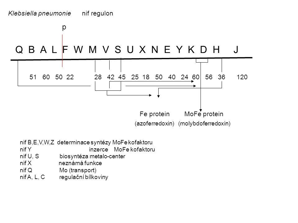Klebsiella pneumonie nif regulon Q B A L F W M V S U X N E Y K D H J 51 60 50 22 28 42 45 25 18 50 40 24 60 56 36 120 Fe protein MoFe protein (azoferredoxin) (molybdoferredoxin) nif B,E,V,W,Z determinace syntézy MoFe kofaktoru nif Y inzerce MoFe kofaktoru nif U, S biosyntéza metalo-center nif X neznámá funkce nif Q Mo (transport) nif A, L, C regulační bílkoviny p
