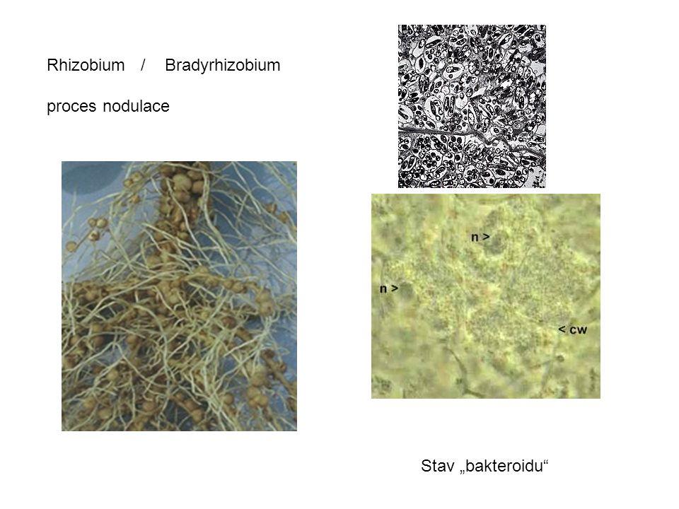 """Rhizobium / Bradyrhizobium proces nodulace Stav """"bakteroidu"""""""