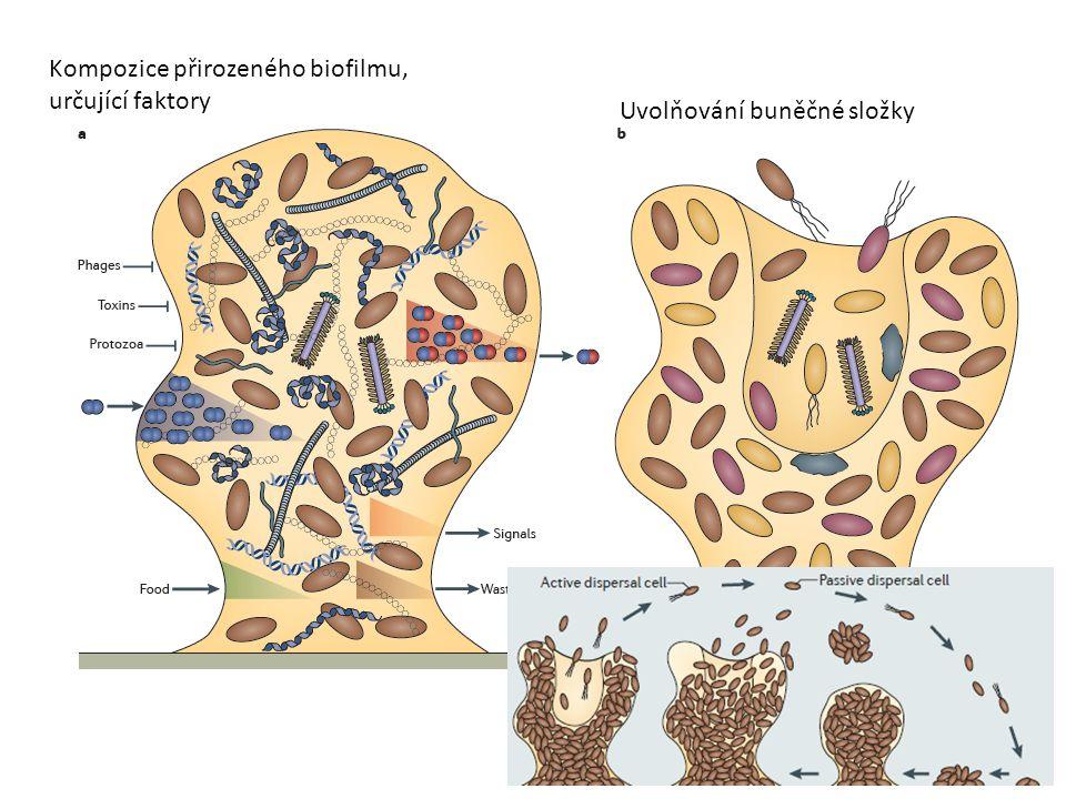 Kompozice přirozeného biofilmu, určující faktory Uvolňování buněčné složky
