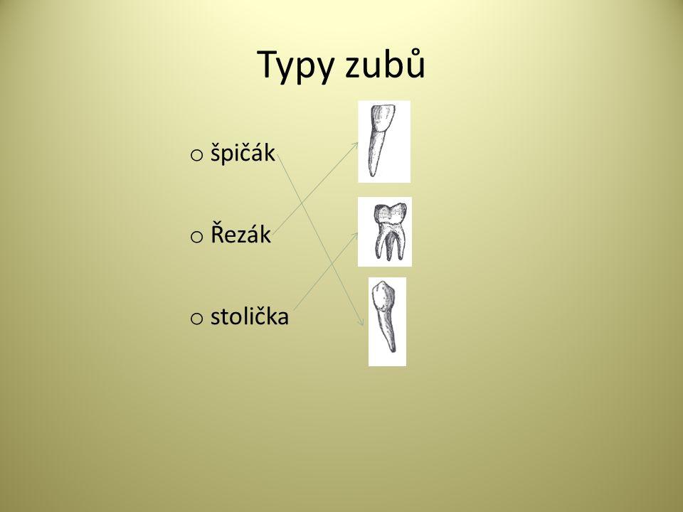 Typy zubů o špičák o Řezák o stolička
